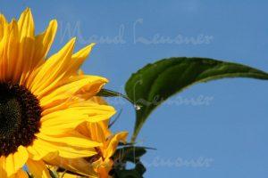 Sonnenblume, Spiegelung