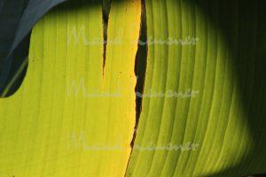 Bananenblatt Struktur 01